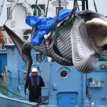 captured Minke whale is lifted by a crane at a port in Kushiro, Hokkaido Prefecture on July 1, 2019.