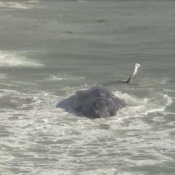 'This one was in trouble': Gray whale spotted near shore of Dockweiler Beach