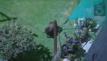 Bear roams Eagle Rock neighborhood