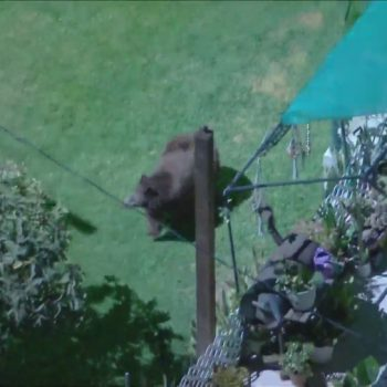 Bear roams Eagle Rock neighborhood