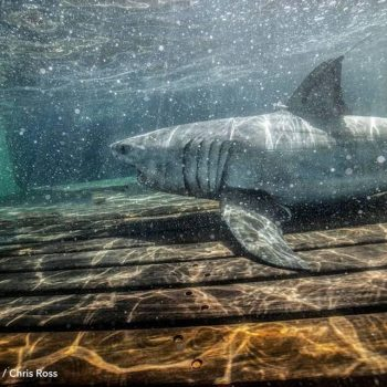 Large white shark caught off North Carolina coast named for the state's largest city