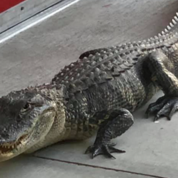 An alligator walks into a fire station in Florida. No, this isn't the start of a joke