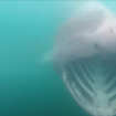 Kayaker's close encounter with 8 massive sharks feeding in Ireland is caught on video