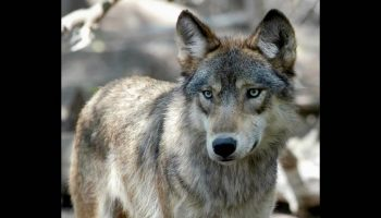 Pet wolf on walk near elementary school nets fine for Louisiana couple, officials say