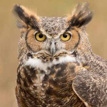 Great horned owl travels hundreds of miles trapped in truck's grille