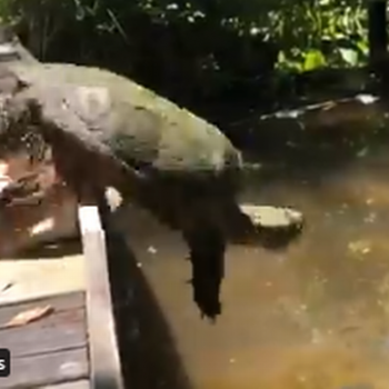 Watch turtle's failed 'high dive' into North Carolina pond. 'This is agonizing.'