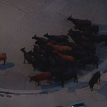 Cows escape slaughterhouse in Pico Rivera; 1 shot by deputies working to round them up