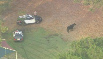 Missing Pico Rivera cow that escaped slaughterhouse with herd resurfaces at Whittier Narrows Park