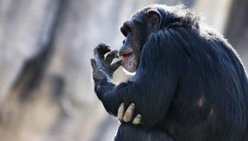 Oregon sheriff's deputy fatally shoots pet chimpanzee to save woman