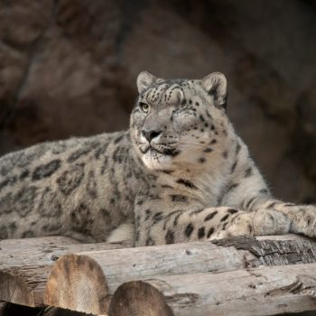 Snow leopard at San Diego Zoo contracts COVID-19