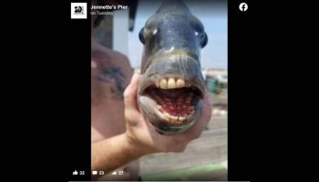 Fish with human-looking teeth is creeping people out after capture off Outer Banks