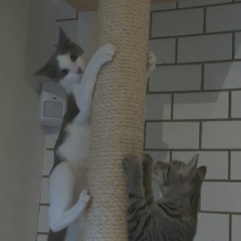Pop-up kitten lounge allows people to meet, mingle with adoptable cats in Venice
